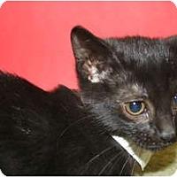 Adopt A Pet :: LYNN - SILVER SPRING, MD