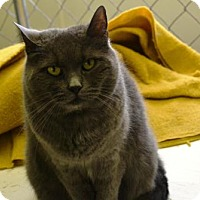 Domestic Shorthair Cat for adoption in East Smithfield, Pennsylvania - Zora