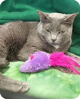 Russian Blue Cat for adoption in Baton Rouge, Louisiana - Mercedes