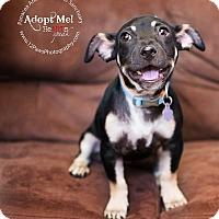 Adopt A Pet :: MR TEE - Higley, AZ