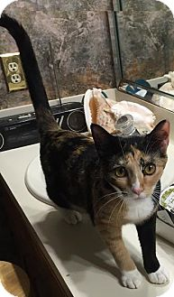 Calico Cat for adoption in Spring, Texas - Ying Yang