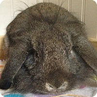 Adopt A Pet :: Gigi - Watauga, TX