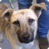 Adopt A Pet :: Schnitzel - Boston, MA