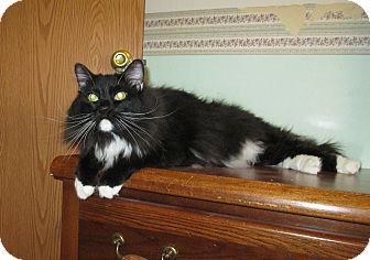 Domestic Longhair Cat for adoption in Cedaredge, Colorado - Mr. Pibb