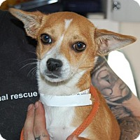 Adopt A Pet :: Callie - Brooklyn, NY