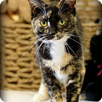 Domestic Shorthair Cat for adoption in Owenboro, Kentucky - SASHA!