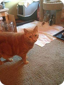 Domestic Shorthair Cat for adoption in Baltimore, Maryland - Breezy (COURTESY POST)