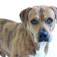 Catahoula Leopard Dog/Black Mouth Cur Mix Dog for adoption in Bradenton, Florida - Banjo