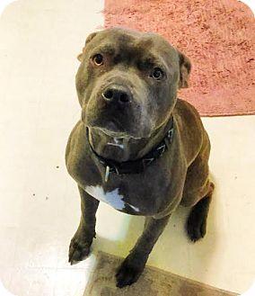Pit Bull Terrier Dog for adoption in Orange, California - Dingo