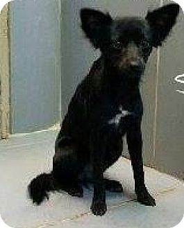 Rat Terrier/Chihuahua Mix Dog for adoption in Westminster, Maryland - Turvy