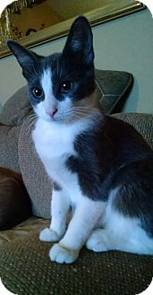 Domestic Shorthair Kitten for adoption in Garden City, Michigan - Diamond Girl