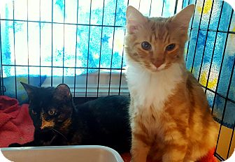 Maine Coon Kitten for adoption in Berkeley Hts, New Jersey - Lady & Tramp