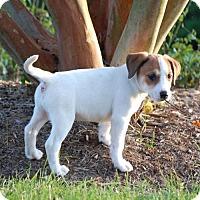 Adopt A Pet :: Anna's Nala - Potomac, MD