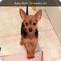 "Adopt A Pet :: *Puppy* ""Baby Ruth"" - Seattle, WA"