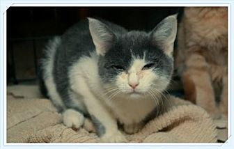 Domestic Shorthair Cat for adoption in Island Heights, New Jersey - Frances