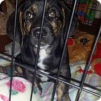 Adopt A Pet :: Charley - Albuquerque, NM