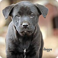 Adopt A Pet :: Reggie - Glastonbury, CT