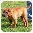 Photo 2 - Shar Pei Dog for adoption in Centerton, Arkansas - Aces
