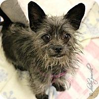 Adopt A Pet :: Wookie - Gilbert, AZ