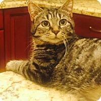 Adopt A Pet :: Sophie (Tabby) - Glendale, AZ