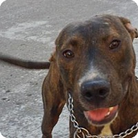 American Pit Bull Terrier/Bull Terrier Mix Dog for adoption in San Diego, California - Mickey