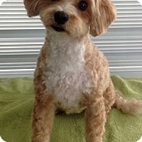 Adopt A Pet :: Cashew-adoption pending - Mississauga, ON