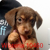 Adopt A Pet :: Wisteria - baltimore, MD