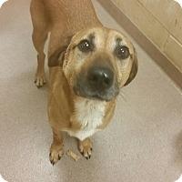 Adopt A Pet :: 1-13 Brutus - Triadelphia, WV