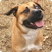 Adopt A Pet :: (CL) Beau AT ANIMAL CONTROL - Brentwood, TN