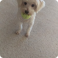 Maltese/Westie, West Highland White Terrier Mix Dog for adoption in Hollywood, California - Maggie