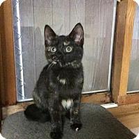 Adopt A Pet :: A Tortibelle - Rochester, MI