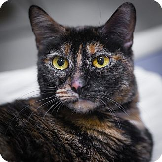 Domestic Shorthair Cat for adoption in Houston, Texas - Harley