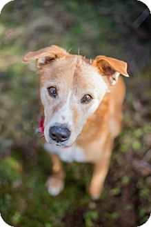 Golden Retriever/Australian Cattle Dog Mix Dog for adoption in Portland, Oregon - Mack