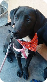 Labrador Retriever Mix Puppy for adoption in San Diego, California - Marley