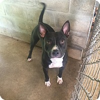 Adopt A Pet :: Pirate - Pinellas Park, FL