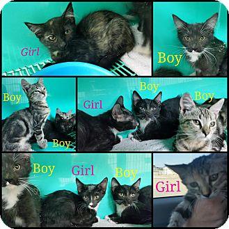 Domestic Shorthair Kitten for adoption in California City, California - 7 Kittens (now 3)