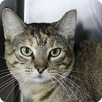 Domestic Shorthair Cat for adoption in Sarasota, Florida - Sunshine
