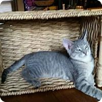 Domestic Shorthair Kitten for adoption in Louisville, Kentucky - Abilene