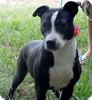 American Staffordshire Terrier Mix Dog for adoption in Boston, Massachusetts - Tulip