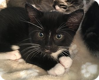 Domestic Shorthair Kitten for adoption in Wayne, New Jersey - Rachele