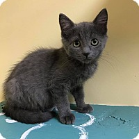 Domestic Shorthair Kitten for adoption in Maryville, Missouri - America