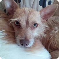 Cairn Terrier/Chihuahua Mix Dog for adoption in Tampa, Florida - CODY (LM)