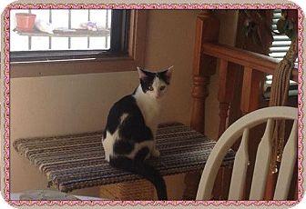 Domestic Shorthair Kitten for adoption in Okotoks, Alberta - MooMoo