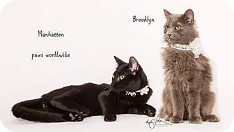 Russian Blue Kitten for adoption in Westlake, California - BROOKLYN