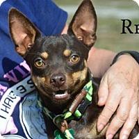 Adopt A Pet :: Rex - Willingboro, NJ