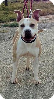 Staffordshire Bull Terrier Mix Dog for adoption in Cedar Crest, New Mexico - Buttercup