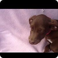 Adopt A Pet :: Lulu - Mesa, AZ