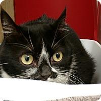 Adopt A Pet :: Feline Boston Terrier (Misky) - Houston, TX