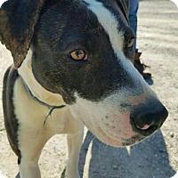 Adopt A Pet :: Ambrose - Macomb, IL