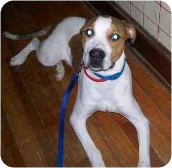 Boxer/Foxhound Mix Dog for adoption in Oak Ridge, New Jersey - Kenny ... American Foxhound Strains